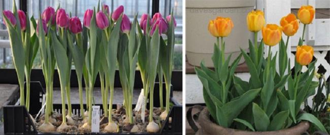 Как вырастить тюльпаны дома на подоконнике