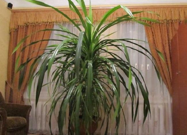 Если вы являетесь обладателем винтовой пальмы, то обязательно ознакомьтесь с данной статьей.
