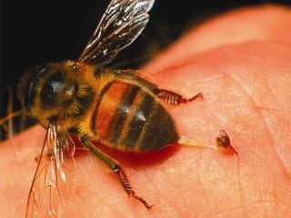 Продукты пчеловодства. Лечение пчелиным ядом
