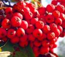 Черноплодная и красная рябина
