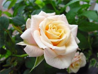 Роза - королева вашего сада