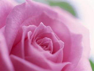 Роза дамасская (продолжение)