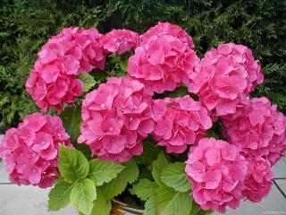 Декоративные кустарники в вашем саду
