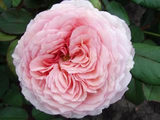 Роза - королева вашего сада. Выращивание роз