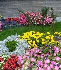Однолетники. Условия выращивания цветов