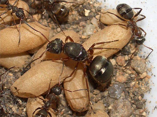 Фантасты, как правило, описывают расу насекомых, взяв за основу вполне обычных земных муравьев.