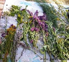 Фитотерапия. Какие лекарственные растения используются при лечении органов дыхания