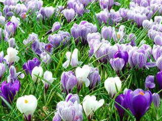 Первоцветы в вашем саду.