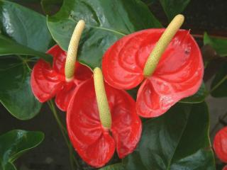 Домашние цветы: антуриум. Как вырастить антуриум и правильно ухаживать за растением?