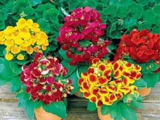 Цветок кальцеолярия: разведение в домашних условиях