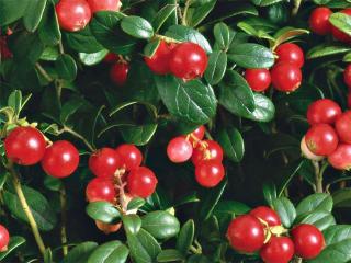 Брусника натуральная. Вкусный рецепт консервирования ягод. Домашние заготовки